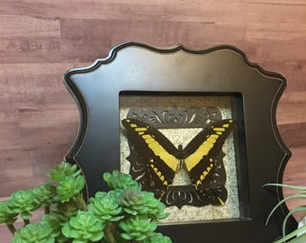 King Swallowtail Butterfly Framed Shadow Box