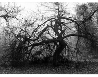 Stark black Hawthorn tree....Hampstead Heath. Limited Edition print one of 25. Free World postage.