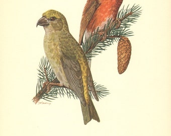 1953 Red Crossbill or Common Crossbill - Loxia curvirostra Vintage Offset Lithograph