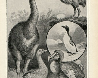Antique Print, MOA DODO Extinct Birds 1910 wall art vintage b/w lithograph illustration natural science chart