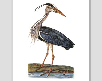 Blue Heron Print, Egret Art (Blue Bird, Cottage Wall Decor) -- 8x10 or 11x14 -- 18th Century Artist