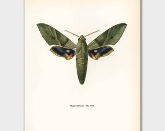 "Butterfly Art Print (Olive Green Butterfly Artwork, Vintage Egyptian Wall Decor) --- ""Gaudy Sphinx"" No. 64-2"