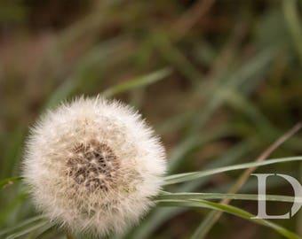 Dandelion Photo, Colour, Digital Download, Photography, Digital Photo, Download, Print At Home.
