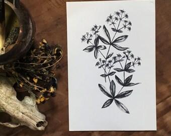 Botanical Illustration Print | Madder Root | Floral Illustration | Vintage Inspired Illustration