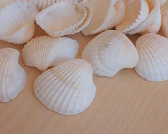 """Medium White Ark Scallop Shells - Sized 1.5 - 2"""" - White Sea Shells"""