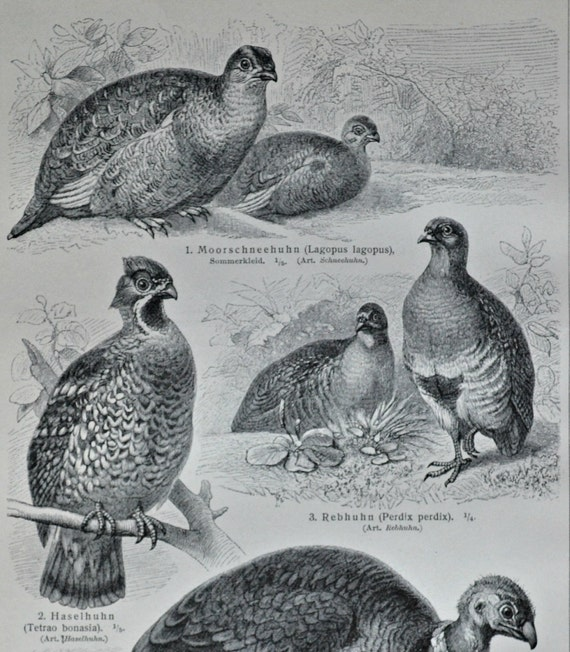Grey partridge print. Hazel grouse. Gallinaceous birds. Old book plate, 1904. Antique illustration. 110 years lithograph. 9'6 x 6'2 inches.