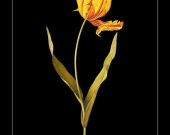 Botanical Print with Black Background - Tulip Print - Flower Poster - Redoute Tulip Wall Art Home Decor #vi785