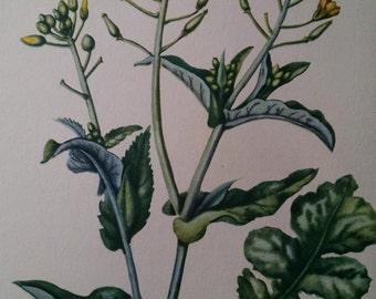 Wild turnip, antique botanical litho print, 1954