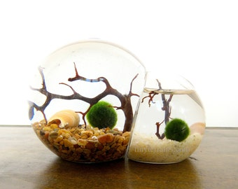 Limited Edition Momma and Baby Marimo Bubble Terrarium: Several Colors Available
