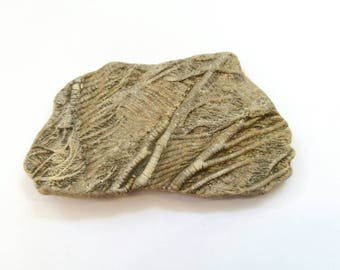 Rare Fossil Crinoid Sea Lily. Discovered in Lyme Regis, over 185 Million Years Old!