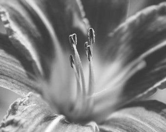 Daylily - Fine art photography print