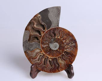 Split Ammonite Fossil Specimen Shell Healing Madagascar+Free Stand J516L