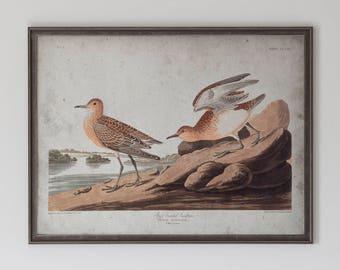Schinz Sandpiper: John James Audubon, Birds of America, Circa 1820's - Vintage Art Print