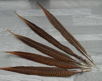 Rare 2 natural Golden pheasant feathers