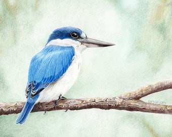 Forest Kingfisher - coloured pencil drawing