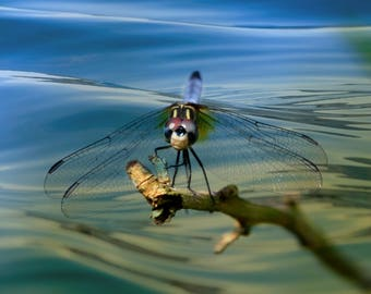 Dragonfly on his perch