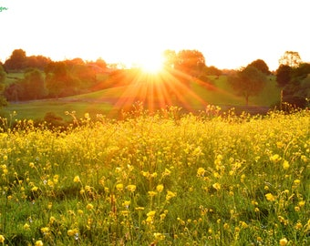 Sunrise over the Buttercups, original photographic print, limited edition, landscape, nature