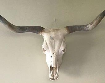 Highland Cow Skull | Animal Skull | Bone Skull