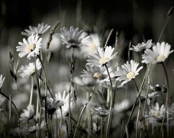 Daisies ~ ~ Print art Print ~ ~ Flowers Wildflower Meadow