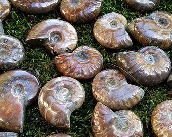 30% off ammonite fossil, polished fossil  ammonite, polished ammonite  fossil, ammonite with rainbow, rainbow fossil ammonite polished ammol