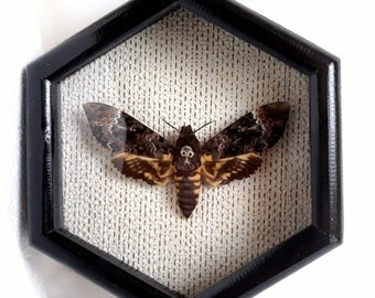 Real moth framed DEATH'S HEAD Moth in the movie silence of the lambs..