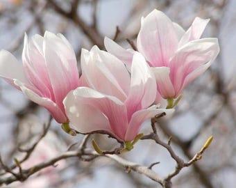 1 Saucer Magnolia  Soulangeana