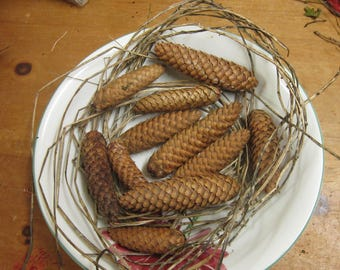 12 Fir Cones - Norway Spruce from Staffordshire , England