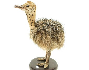 Stuffed young ostrich, mounted ostrich, taxidermy, Straussen baby