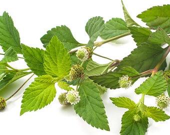 "Aztec sweet mint- Lippia dulcis : 50 fresh flowers--- ""500-1500 times sweeter than sugar."""
