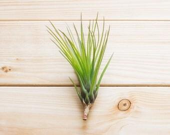 Air Plant, Tillandsia Tricolor, Terrarium Air Plant, Small Plants, Fun Gift Idea, Outside Plant, Garden Decorating, Wreath Plant, Fun Gift