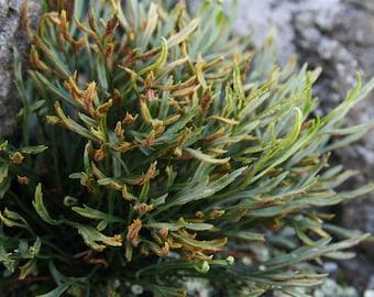 20 Asplenium septentrionale Seeds, northern spleenwort , forked spleenwort Seeds,