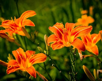 Orange Day Lilly bulb clusters ,  HUGE SALE 20 bulb clusters one low price   free ship 30% off Aug. Sale