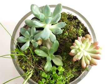 Jelly Beans - Glass terrarium with wooden stand - Handmade in Melbourne