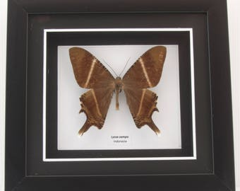 Lyssa zampa (Tropical Swallowtail) Moth Taxidermy in Matted Shadow Box Frame