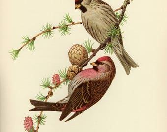 Vintage lithograph of the lesser redpoll from 1953