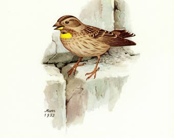 Vintage lithograph of the rock sparrow from 1953