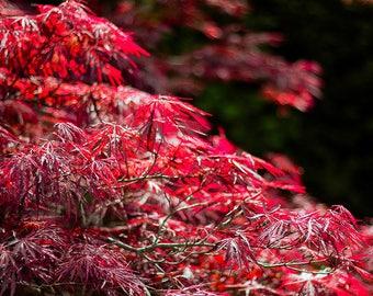 red art print / photography / art prints / wall art prints / red / maple tree / new zealand / home decor / wall art decor / fine art print