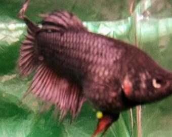 fish Female Crowntail Betta Gun Metal Gray  6 months Gorgeous