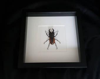 Stag beetle of Odontolabis wollastoni showcase