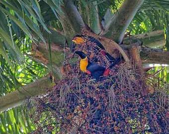Original fine art photography print - Two toucans