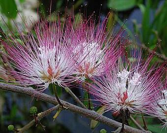 Calliandra Schultzei Rose Cascade - Pink Powder Puff