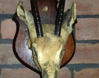 1 mounted vintage anterlope head