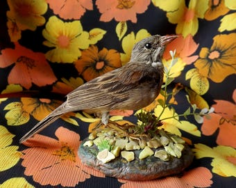 real taxidermied grey-necked bunting (Emberiza buchanani) / stuffed bird / taxidermy / mounted bird. Male