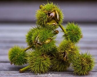 Sweet Chestnuts Mounted Print