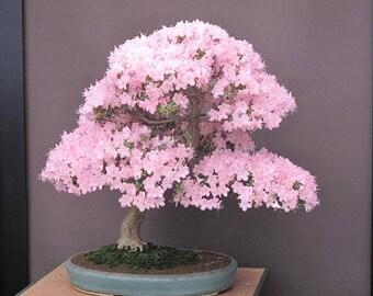 Pink Japanese Sakura Seeds Bonsai Flower Cherry Blossoms Cherry Tree Ornamental Plant 10 Particles