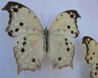 Mother of Pearl Butterfly Taxidermy