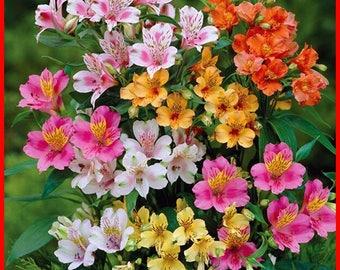 HOT Rare! 100/bag Peruvian Lily Seeds, Peruvian Lily Mix (Alstroemeria) FLOWER SEEDS-Perennial
