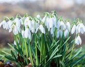 Snowdrops Blank Greetings...