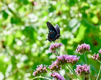Swallowtail Pipevine