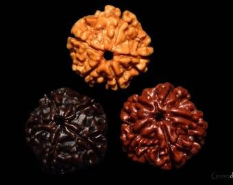 3 Rudraksha 3 color 5 Mukhi Nepal origin
